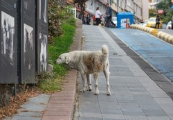 view of a stray dog walking on pavement in the street of Kadikoy district, istanbul Turkey. homeless, feral animals in urban cities