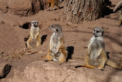 View of a three meerkat (suricate Suricata suricatta) standing up