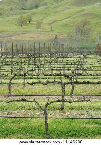 View of a vineyard around one of California's wineries, in a hillside part of California