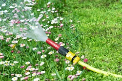 View of a watering hose from which water pours against a lawn with flowers of daisies.