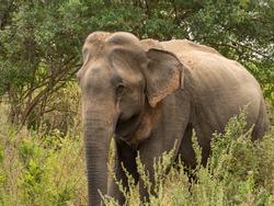 View of a wild Asian Elephant roamin the Lunugamvehera National Park in Sri Lanka