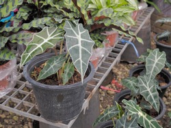 view of Alocasia sanderiana Bull (known as the Kris plant) planting in flowerpot decorated in garden.