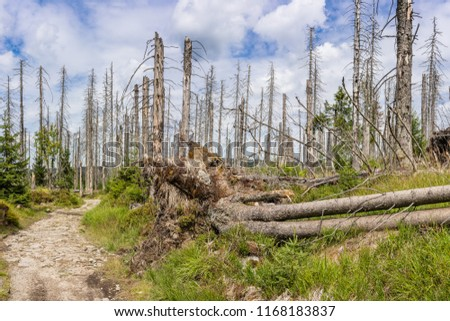 View of an hiking trail in the Harz national park in Germany next to the city of Königshütte where the forest has been devastated by bark beetles