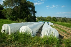 View of an organic vegetable garden with white garden fabris covered hoops protecting long rows of tender plants. Green grass and vegetable rows surround them with trees in the background under a blue
