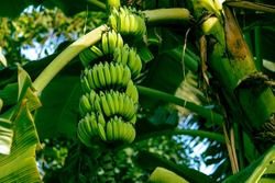 View of banana fruit growth in clusters along a single stalk.