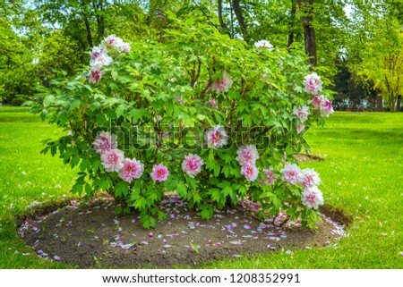 View of beautiful garden with green lawn and blooming tree peonies - Paeonia suffruticosa -  shrubs with colorful white and pink flowers, trees and spruce.  #1208352991