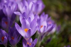 View of blooming spring flowers crocus growing in wildlife. Purple crocus growing.