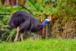 View of Cassowaries (/ˈkæsəwɛəri/), genus Casuarius, are ratites (flightless birds without a keel on their sternum bone) that are native to the tropical forests