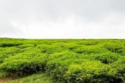 View Of Cau Dat Tea Plantation In Dalat, Vietnam.