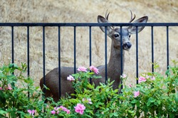 View of curious young male deer looking at roses in California home backyard; focus on deer.