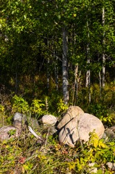 View of deciduous trees forest, aspen and alder trunks on a sunny day.  In the tall grass, big boulders on which moss grows.