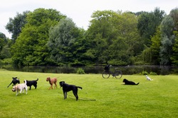View of dogs playing on grass field, pond, trees at Vondelpark in Amsterdam. It is a public urban park of 47 hectares. It is a summer day.