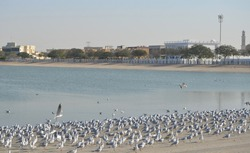 View of flock seagulls on the lake.