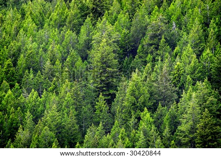 View of forest of green pine trees on mountainside