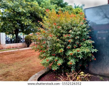view of Hamelia patens (Firebush)small tree. Stok fotoğraf ©
