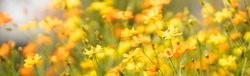 View of honey bee and yellow Cosmos flower on blurred green leaf background under sunlight with copy space using as background natural flora insect, ecology cover page concept.
