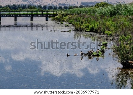 View of Hula Lake and water birds as seen from the covered observation platform on the floating bridge, Hula Nature Reserve, Hula Valley, Upper Galilee, Northern Israel, Israel.