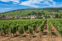 View of in the vineyard in Burgundy Bourgogne home of pinot noir and chardonnay in summer day with blue sky. Cote d'Or.