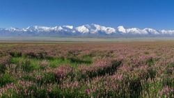 View of Lenin Peak nowadays Ibn Sina peak in the snow-capped Trans-Alai mountain range in southern Kyrgyzstan with pink blooming sainfoin in the foreground