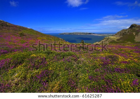 "view of llandudno, north wales, uk with flowering heather and gorse in the foreground ""great orme"""