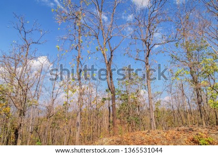 view of many dry trees on side road with blue sky background, Mae Ya Waterfall, Ban Luang, Chom Thong District, Chiang Mai, northern of Thailand. #1365531044