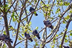 View of many pigeon relaxing in branches of tree summer or spring season, blue sky background in vintage tone, happy in one fine day with freedom concept