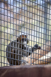 View of monkey in the cage. The illegal wildlife trade problem.