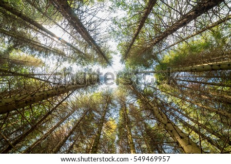 View of of tall pine tree forest a common type of coniferous resinous trees viewed from below