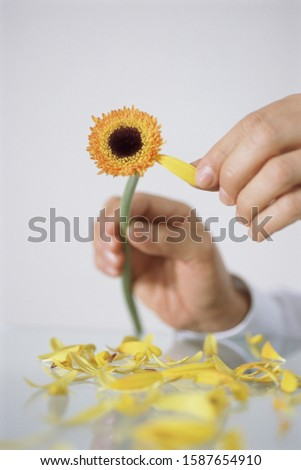 View of person picking last petal off of flower