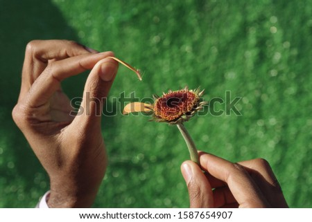 View of person picking petals off an orange flower