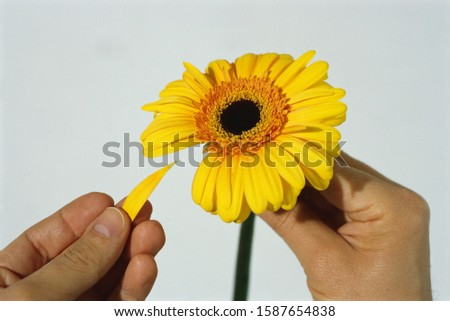 View of person picking petals off of a flower