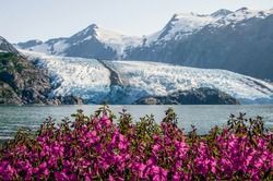 View of Portage glacier in the Chugach mountains and Portage lake on the background and pink blooming fireweed on the foreground. Shot in the USA, Alaska, in summer.