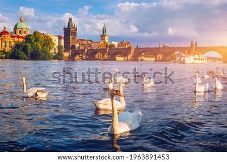 View of Prague Charles bridge near the Vltava river. Swan on the river. Swans swim in the Vltava river. Charles Bridge at sunset. Prague Swans of the Vltava River, Prague, Czech Republic Stock photo ©