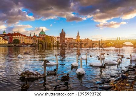 View of Prague Charles bridge near the Vltava river. Swan on the river. Swans swim in the Vltava river. Charles Bridge at sunset, Swans swim. Charles Bridge in Prague with swans in the foreground. Stock photo ©