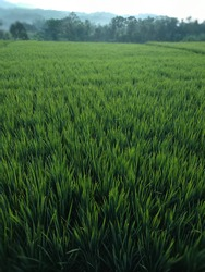 view of rice fields that spread green in Indonesia