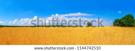 view of ripe golden wheat field by summertime panorama