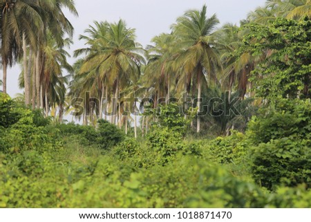 View of several groups of coconut trees in the bush. Picture taken in ivory coast. Tall palm trees with large leaves. Vertical long trunks. Only vegetal elements. Natural green color picture.
