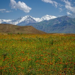 View of snow-capped Ismail Somoni Peak formerly Stalin Peak and Communism Peak, highest mountain in Tajikistan seen from the Trans-Alay valley in Kyrgyzstan with orange flowers in the foreground