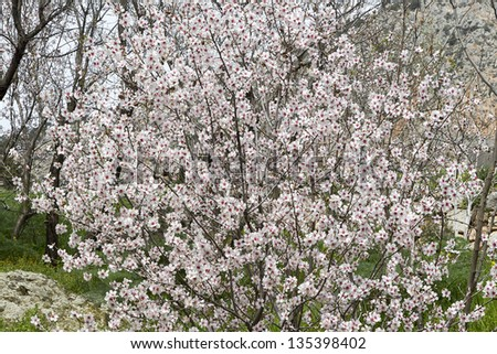 View of some nice white almond tree flowers