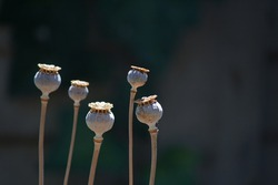 VIEW OF SUNLIGHT ON DRY SEED PODS OF POPPY FLOWERS