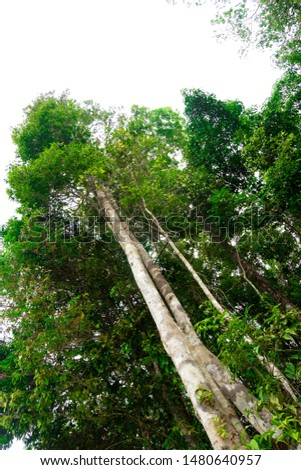 View of tall and tall trees in the tropical forests of Thailand #1480640957