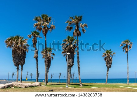 View of tall palm trees planted on the lawn next to the beach and the boulevard in Tel-Aviv against a clear blue clear sky as background