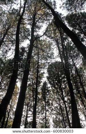 View of tall pine tree forest a common type of coniferous trees viewed from below #600830003