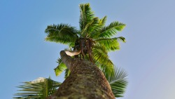 View of tall tropical coconut tree (cocos nucifera) from below with twisted trunk, coconut fruits, green leaves waving in wind and blue sky on La Digue island, Seychelles. Focus on top of tree.