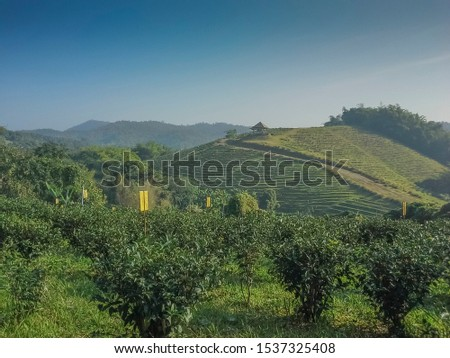 view of Tea farm plantation terrace on side hill with mountains and blue sky background, Rai Cha Doi Chang, Doi Chang, Chiang Rai, Thailand.