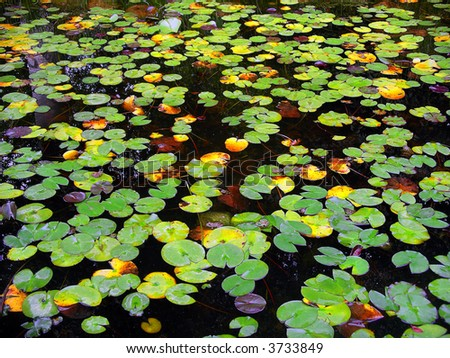 View of tens of frogs in a water lily lake
