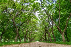 View of the alley of trees in the park as it looks from the ground. Trees are lined up along the walking path