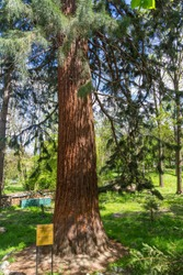 View of the giant redwood, sequioiadendron giganteum, planted by king Ferdinand in the suburbs of Sofia in Vitosha, Bulgaria. The biggest tree on the world.