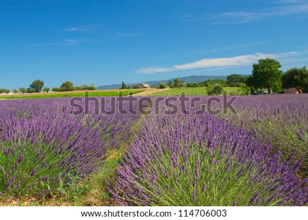 View of the landscape with lavender field (Provence, France)