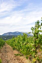 View of the Saint-Saturnin-de-Lucian vineyard dominated by Mont Saint-Baudille (Occitanie, France)